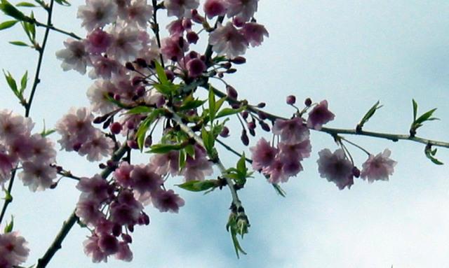 Blossom1crop